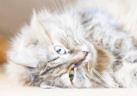 lovable: lovable kitten of siberian breed