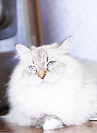 haired: beautiful long haired cat, siberian breed Stock Photo