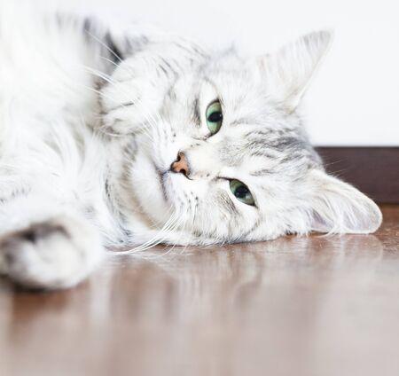 purring: purring cat, pretty silver kitten