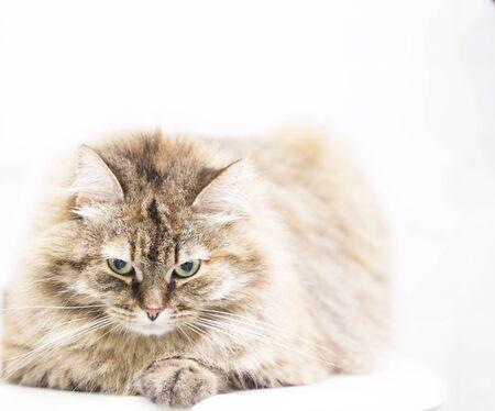 haired: long haired kitten, siberian breed