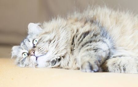 purr: cat purr, lovable kitten on the sofa Stock Photo