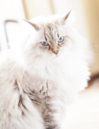 hypoallergenic: sweety white cat, siberian breed