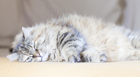 purring: purring cat on the sofa, brown tabby Stock Photo