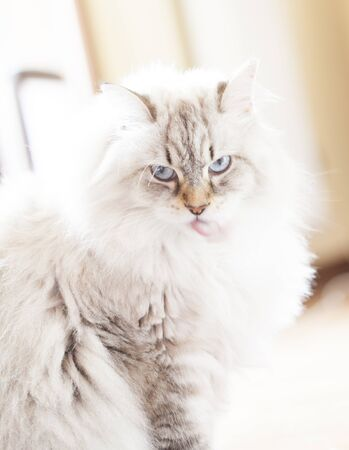 haired: long haired cat, white color