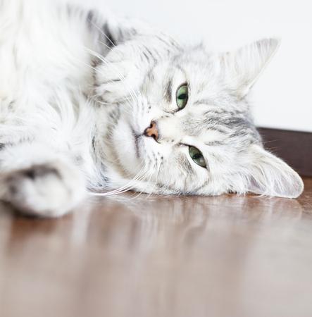 purring: cat purring on the floor, silver kitten of Siberian breed Stock Photo