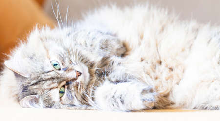 purring: cat purring on the sofa, brown version of Siberian breed