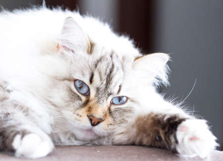 haired: beauty breed of siberian kitten, long haired