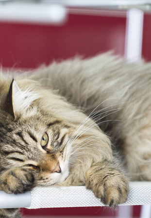 hypoallergenic: breed of cat, brown siberian Stock Photo