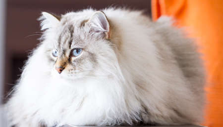 neva: beautiful siberian cat, white masquerade neva