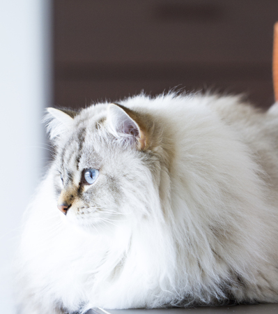 neva: beautiful cat breed of siberian, white masquerade neva Stock Photo