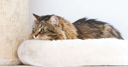 hypoallergenic: brown cat of Siberian breed, female on the scratching post