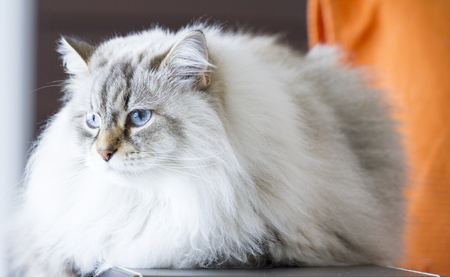 neva: beautiful cat breed of siberian, white neva masquerade on the sofa Stock Photo