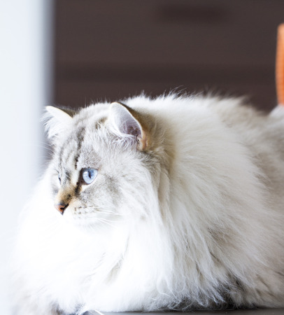 neva: siberian cat, long haired white neva masquerade