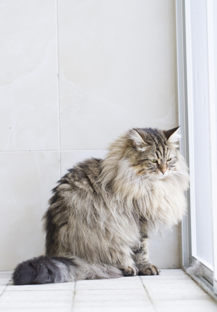 tender: tender cat, siberian