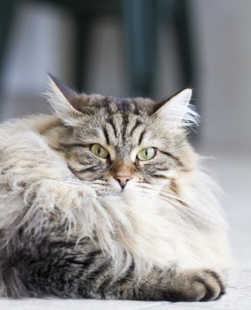 hypoallergenic: breed of cat, siberian