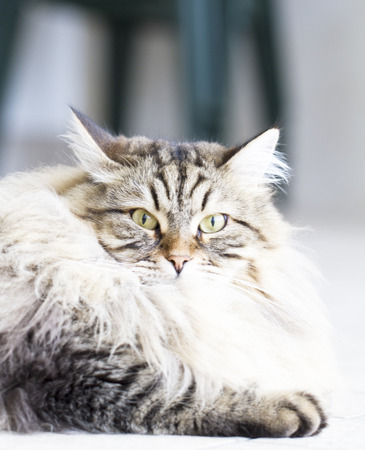 haired: brown cat, long haired Stock Photo