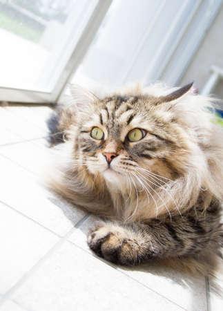 beautiful male cat of siberian breed Stock Photo