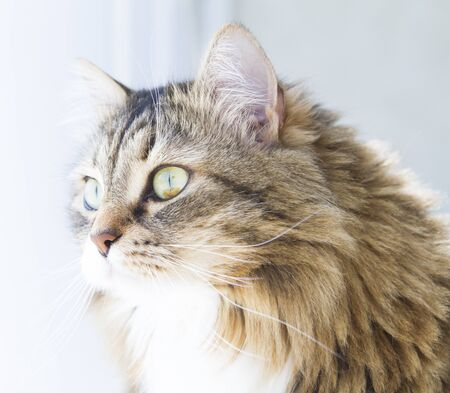 sweet cat of siberian breed, brown version with white, female