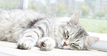 pampered: Beautiful female of siberian cat, silver version Stock Photo