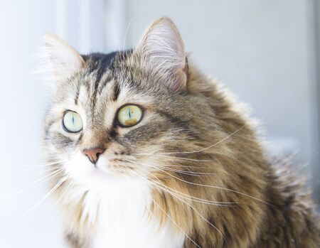 hypoallergenic: sweet cat of siberian breed, brown version with white, female