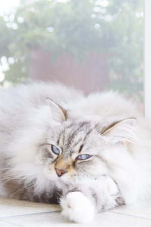 hypoallergenic: lovable cat, long haired white