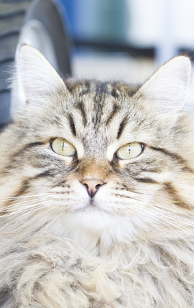 hypoallergenic: long haired cat, brown version