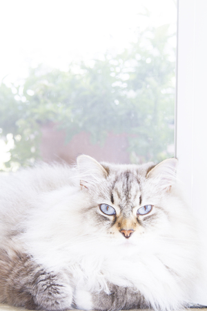 long haired: pretty white cat, long haired