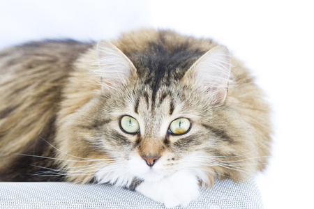 lovable: lovable kitten, brown with white