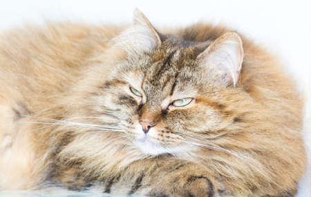 purring: purring time, gorgeous kitten Stock Photo