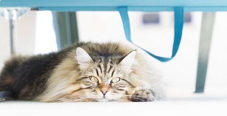 hypoallergenic: pretty cat under the beach chair