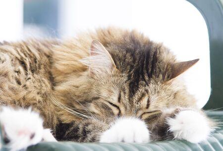 sweet dreams: sweet dreams, cat sleeping Stock Photo