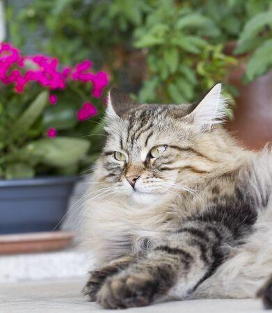 brown siberian cat in the garden Stock Photo