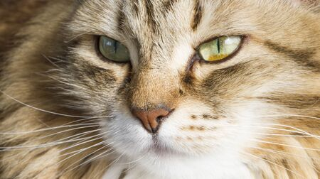brown white siberian cat face