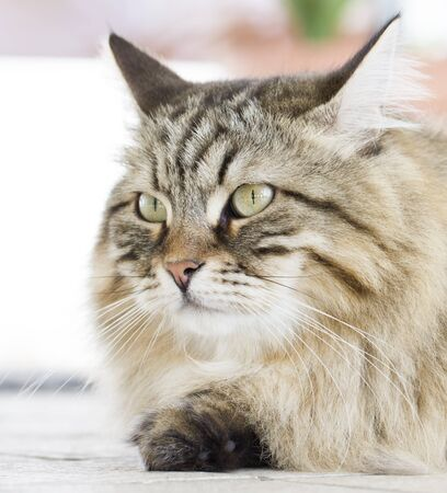 Male cat of siberian breed brown version