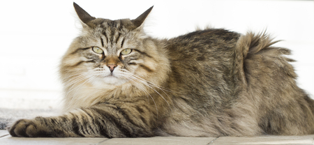 beauty brown tabby Siberian cat