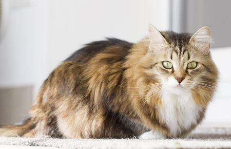 tender cat, brown Siberian breed Stock Photo
