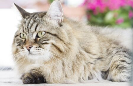 hypoallergenic: Male cat of siberian breed brown version