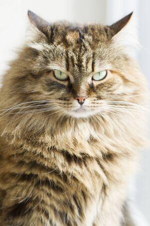 hypoallergenic: furry brown mackerel cat breed of siberian Stock Photo