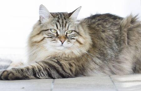 hypoallergenic: beauty brown tabby Siberian cat
