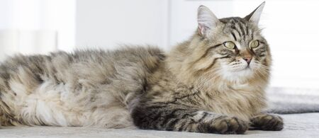 beauty brown tabby Siberian cat