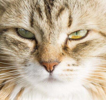 arcades: brown white siberian cat face