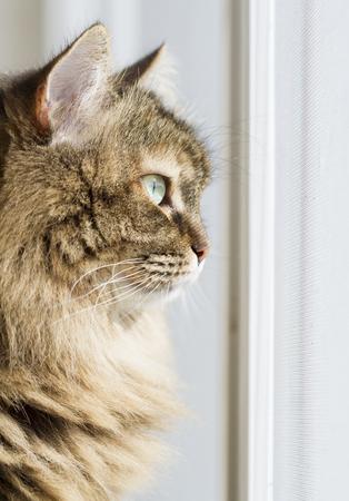 hypoallergenic: brown cat profile, siberian breed