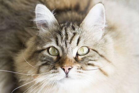 hypoallergenic: male brown cat of siberian breed Stock Photo