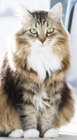hypoallergenic: Siberian cat brown white version