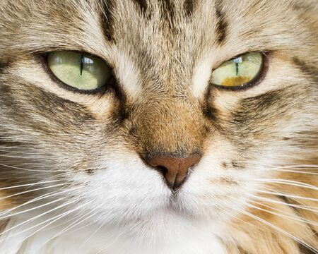 hypoallergenic: brown white siberian cat face