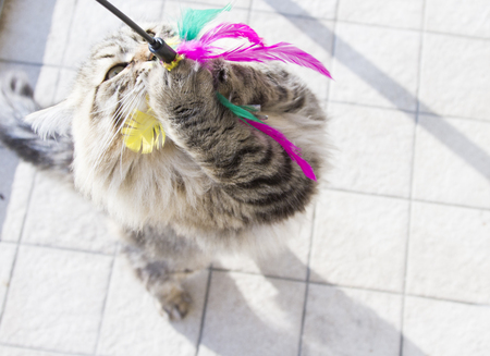 siberian breed of cat, playing with a feather