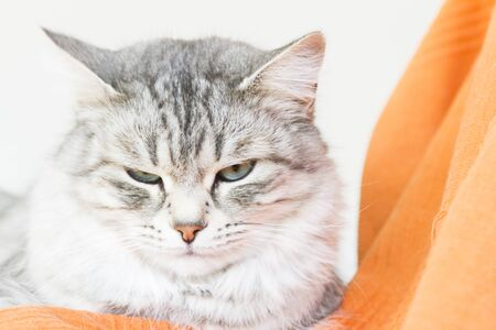 grey cat of siberian breed, female adult Stock Photo