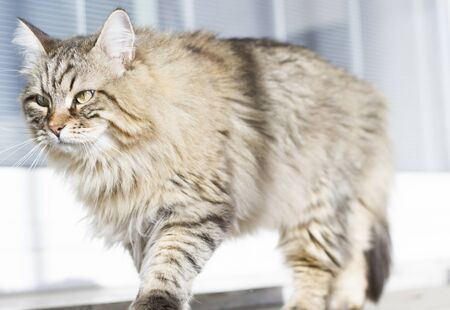 browm long haired cat of siberian breed