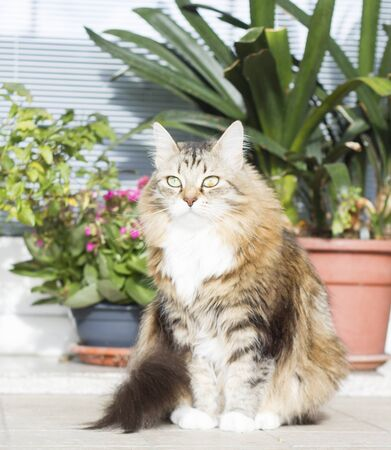 arcades: brown kitty of siberian breed outdoor