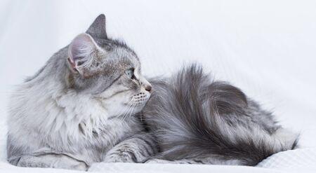 beuatiful felino plata en el sofá, raza siberiano